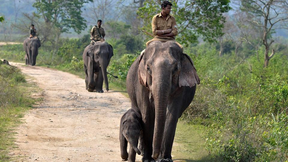 Forest officials ride atop elephants accompanied by their calves as they conduct the rhino census in Kaziranga National Park. Faced with poaching, the Indian government has granted forest guards at Kaziranga extraordinary powers that give them considerable immunity from protection against prosecution if they shoot and kill poachers at the park. (PTI)