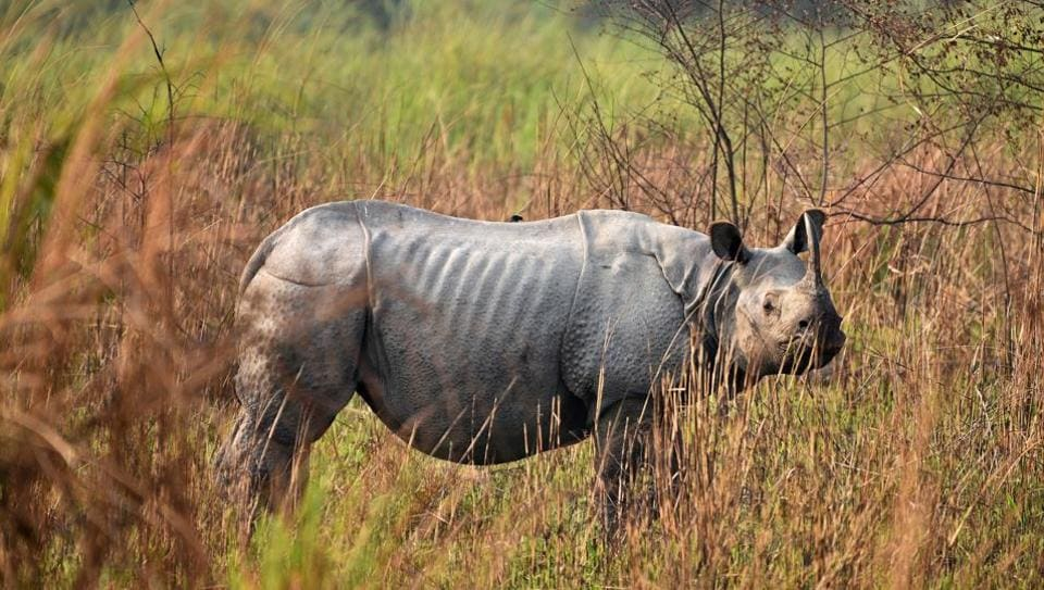 A one-horned rhinoceros is seen at the Kaziranga National Park in Assam. The Kaziranga National Park, on Monday, began a two-day rhino census which will be conducted in all of the park's ranges. A similar census reported just last week from the Pobitora Wildlife Sanctuary showed 102 one-horned rhinos now living in the park, up from 93 during the last count in 2012. (Anuwar Hazarika / REUTERS)