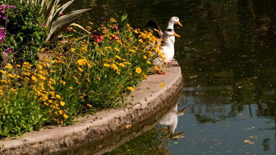 Ducks soak in the sun beside yellow daisies as they get ready for a swim. (PHOTO: SARANG GUPTA/HT)