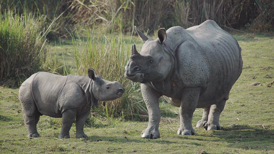 Rhino Population,Kaziranga National Park,Assam