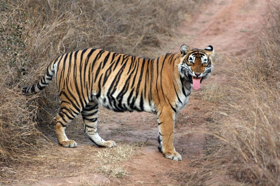 Forest officials have been looking for Sariska tigress ST-5, missing since February 21.