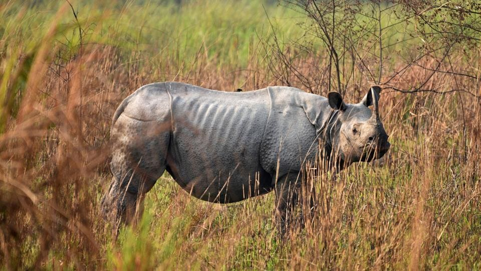 A one-horned rhinoceros is spotted during a rhino census at the Kaziranga National Park, in Golaghat District, Assam. (Anuwar Hazarika / REUTERS)