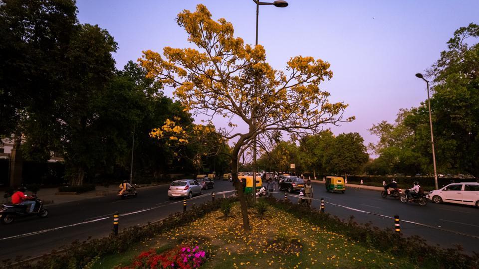 Golden trumpets blossom near India Gate (PHOTO: SARANG GUPTA/HT)