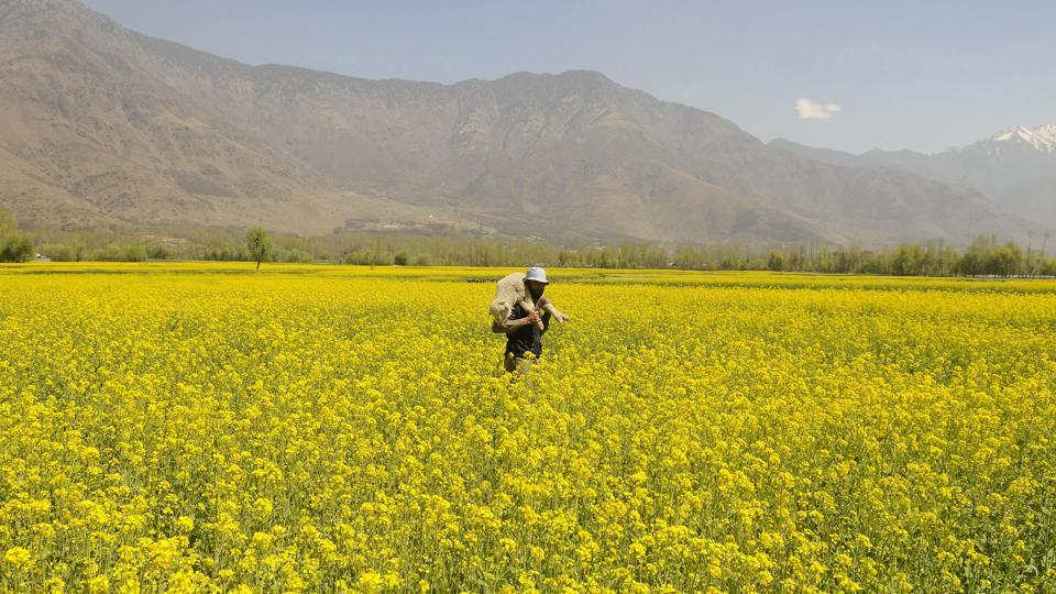 Mustard is the main winter crop in Kashmir. Mustard oil is used in most local dishes. (Waseem Andrabi / HT Photo)
