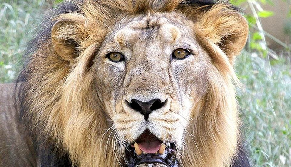 The lion population rose from an alarmingly low 13 in 1913 to a healthy 523 in 2015. And 40% of these lions now live in Amreli, Bhavnagar, Gir Somnath and Porbandar districts in the Saurashtra region, moving through 19 corridors covering 22,000 square km.
