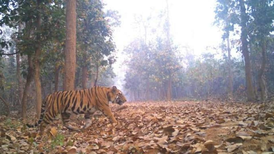 In the last week of February, cattle began to go missing on the edges of the Lalgarh forest. 'We thought it was hyenas,' says farmer Bangeshwar Mahato. On March 2, camera trap footage confirmed it was an adult Royal Bengal tiger - the first tiger sighting ever recorded in the region.