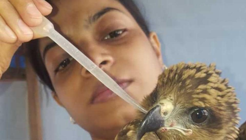 A kite which was dehydrated being nursed back to health.