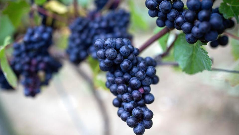 The profile of the beer is usually tailored to match the qualities of the grape varieties involved.