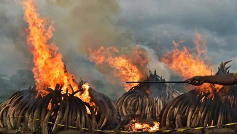 Kenya Wildlife Services burns illegal stockpiles of burning elephant tusks and ivory figurines at the Nairobi National Park in 2016. Members of Britain's royal family including Prince Charles and Prince William have campaigned against slaughter of elephants for ivory.
