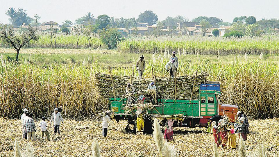 Good rainfall in September and October, and increased area under cultivation led to a bumper sugarcane harvest in the state.