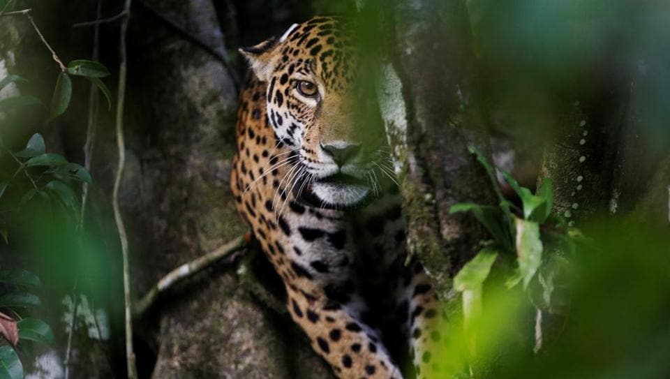 Brazilian jaguars, imperiled by hunters, ranchers and destruction of their habitat, have learned to survive at least one menace -- flooding in the Amazon, by taking to the trees. Although they can be six feet long and weigh 200 pounds, South America's largest cats nimbly navigate treetops where they stay from April to July when the rainforest floor is under meters-deep water. (Bruno Kelly / REUTERS)