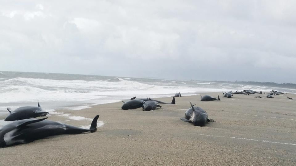 Beached pilot whales in Haast, west coast of New Zealand's South Island. Early Thursday, April 5, 2018, 38 whales were found stranded at the mouth of the Okuru river, just south of Haast. (New Zealand Department of Conservation via AP)