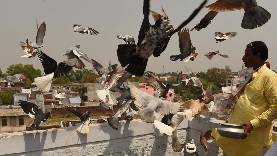 Within kabootar bazi one finds various contests. There is 'Ladaiya', a game of luring the opponent's birds from a distance; 'Hakaiya', which is a race between two pigeon parties and 'Daud', a timed individual race. Each comes with its own skill on the trainer's part and has pigeon species preferred for it. (Subhankar Chakraborty / HT Photo)
