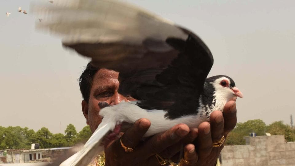 A sport that harkens to older times, a joy for kabootar bazi has been a family heirloom. Sahu says he keeps around 1,400 birds in his collection which includes top varieties like the 'Jangla', 'Lalband', 'Sirji', 'Zard' and 'Sendhey' among others. (Subhankar Chakraborty / HT Photo)
