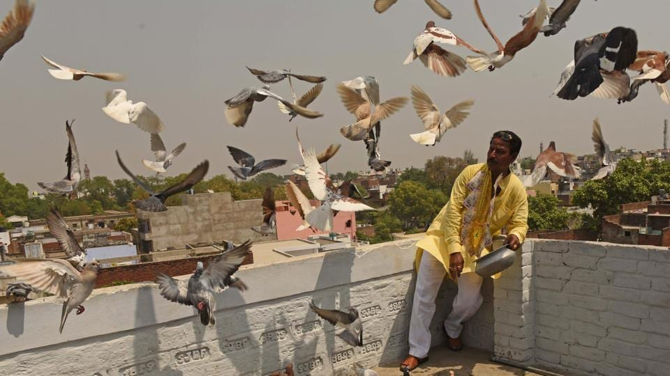 Birder Ram Krishna Sahu's pigeons take flight during a kabootar bazi (pigeon sporting) demonstration at Sarai Mali Khan in Lucknow's Old City. While takers for this once popular spectator sport have diminished, enthusiasts like Sahu are poised to carry on this tradition maintained in his family for over 90 years.  (Subhankar Chakraborty / HT Photo)