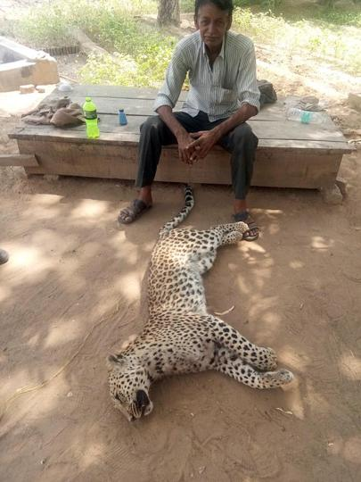 Rajasthan news,leopard killed,man-animal conflict