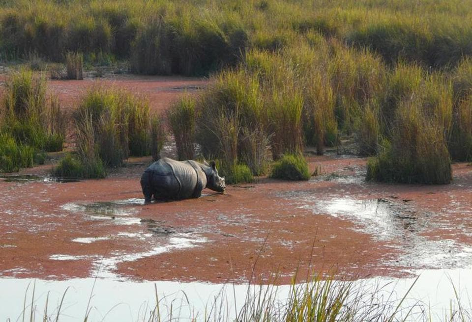 A Rhino in Dhudwa National Park.
