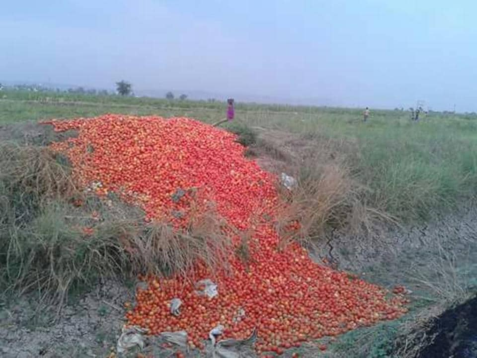 Tomatoes dumped in an agriculture field in Shahganj area of Sehore district by a farmer