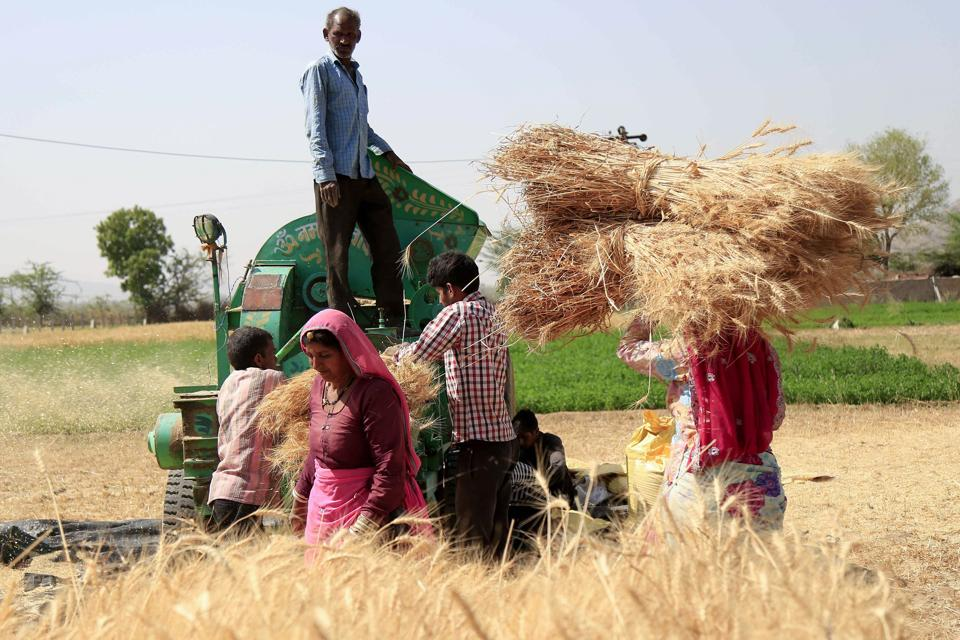Farmers thresh the harvested wheat crop in the outskirts of Ajmer in the Indian state of Rajasthan.