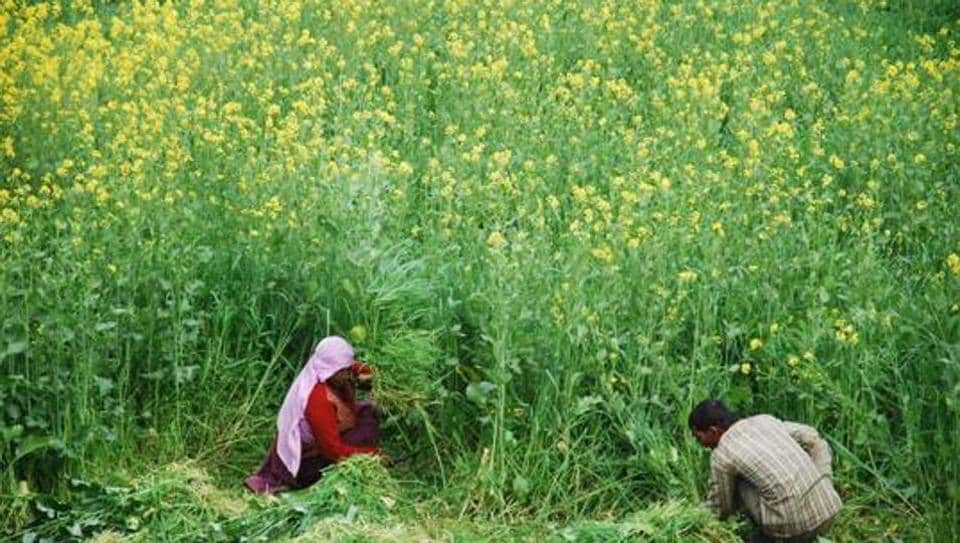 Rajasthan,mustard crop