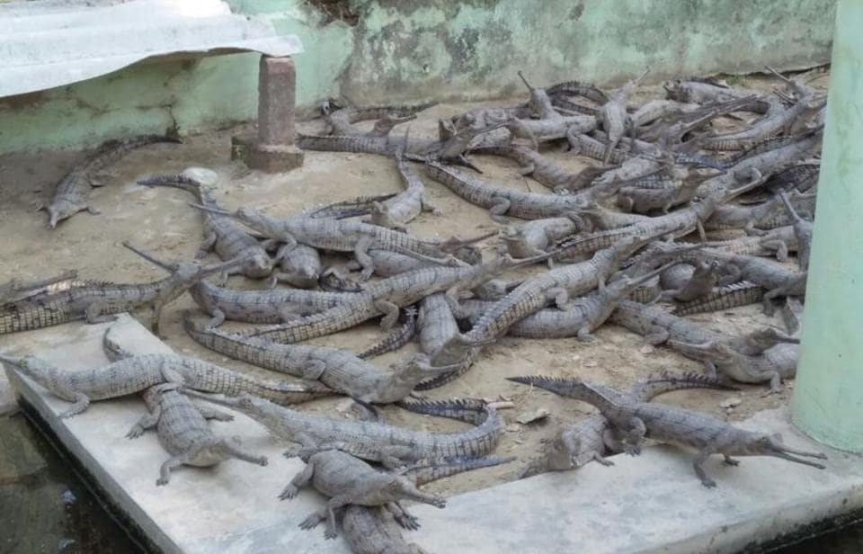 Critically endangered,Gharials,Kukrail breeding centre