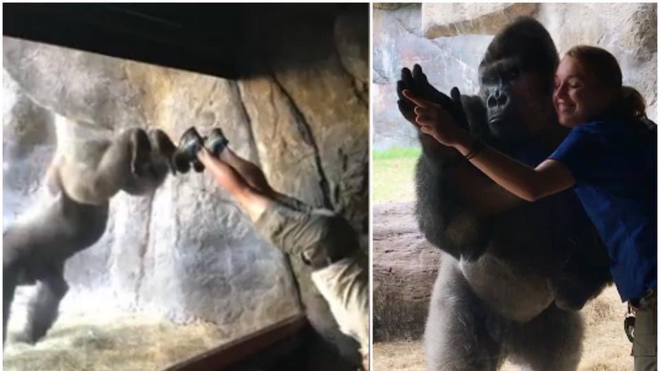Busch Gardens Tampa Bay,gorilla,handstands
