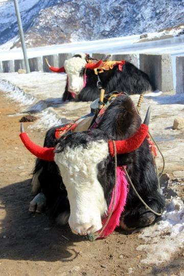 Uttarakhand news,Badrinath,Yak