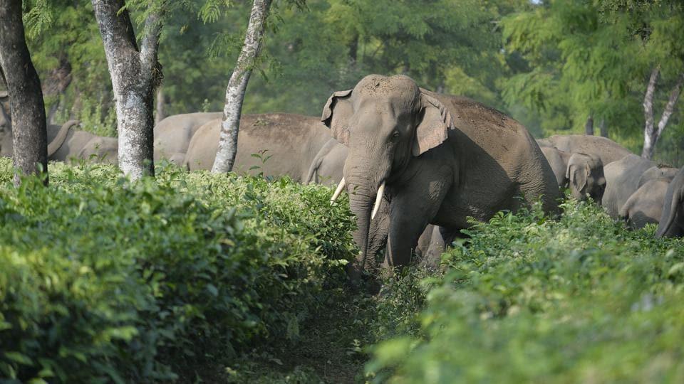 Elephants,Palamu tiger reserve,Karnataka