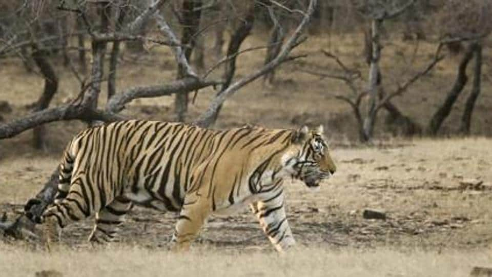Ranthambore,Ranthambore National Park,Tigers dead in Ranthambore