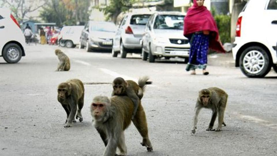 Monkey menace,Simian attack,Woman run over