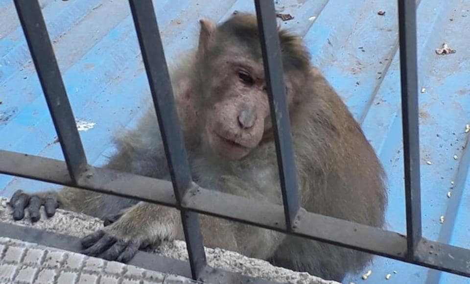 One of the monkeys that entered Mayur Maru's residence last week.