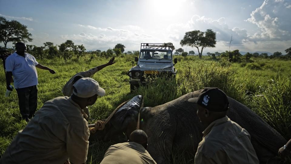 A team of veterinarians use a 4x4 vehicle to turn over a tranquilized elephant to attach a collar. There has also been movement to crack down on trafficking. Tanzanian President John Magufuli took a hard line and authorities have arrested key suspects linked to trafficking syndicates. But when gains are made in one area, the killings intensify in another spot. (Ben Curtis / AP)