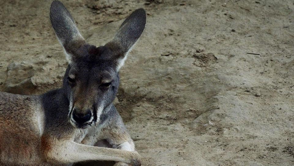 This file picture taken on June 24, 2013 shows an Australian kangaroo relaxing in its enclosure at the Beijing zoo. Visitors to a zoo in southeastern China killed one kangaroo and injured another by throwing bricks at them in an attempt to get a reaction from the big marsupials, state media reported on April 20, 2018.