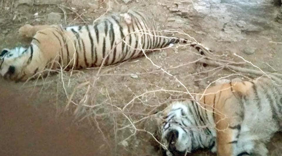 Bodies of two male tiger cubs at the Ranthambore Tiger Reserve .