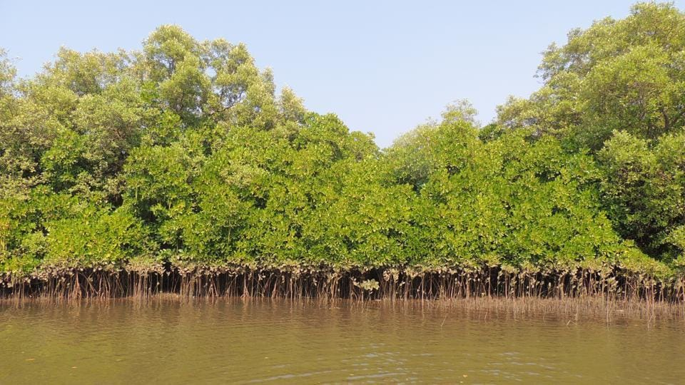 mangroves essay Mangroves are among the endangered habitats in the world, there are 64 types of mangroves in the world, and bicentennial park has 2 types like the mangroves salt marsh is also an endangered species, it is a filtering system for nearby rivers and streams and.
