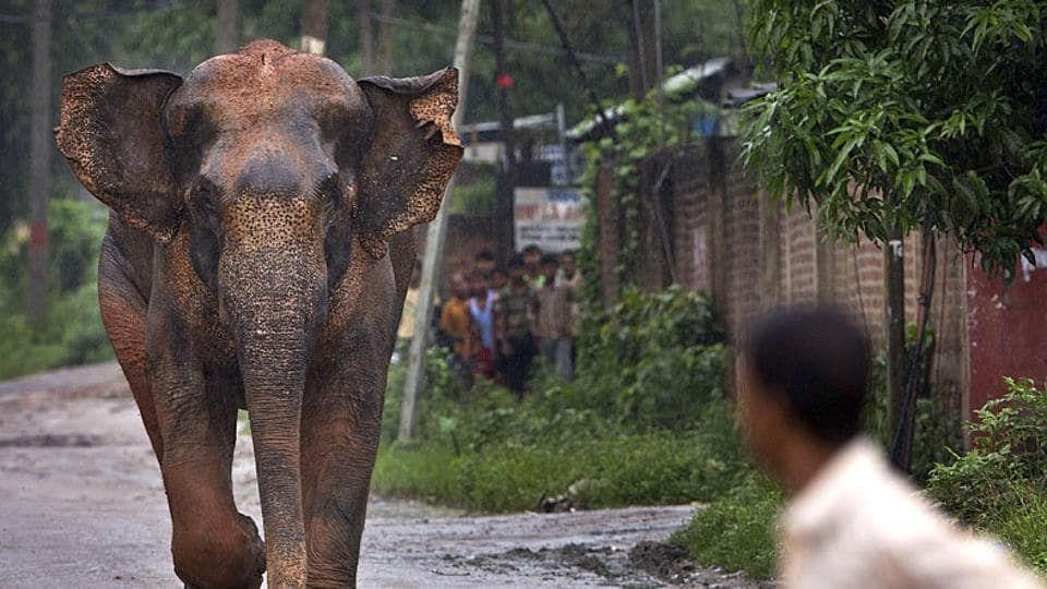 Elephant,Odisha,Dhenkanal district