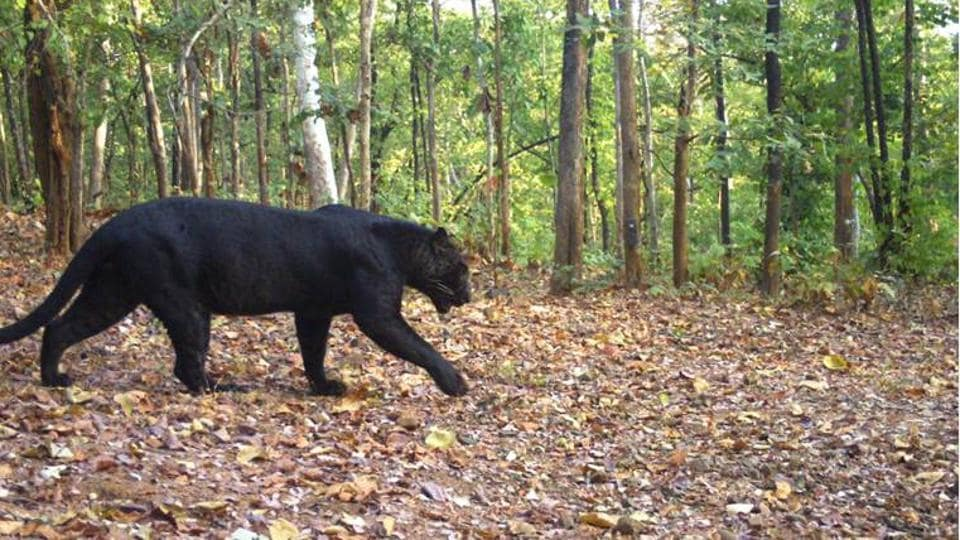 The black panther spotted at at Udanti-Sitanadi tiger reserve in Chhattisgarh.