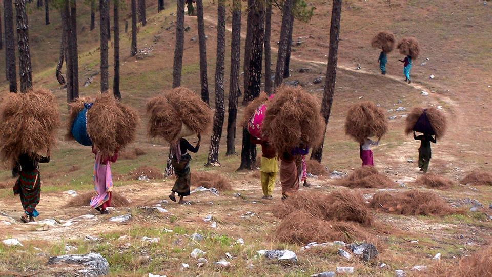 Women collect pine needles. They are considered  the main factor behind forest fires in Uttarakhand.