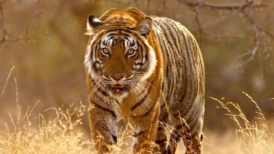 Tiger translocation,Tiger territory,Big cat