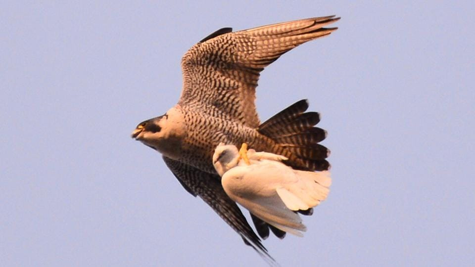 A Peregrine falcon with a pigeon killed in the high skies.