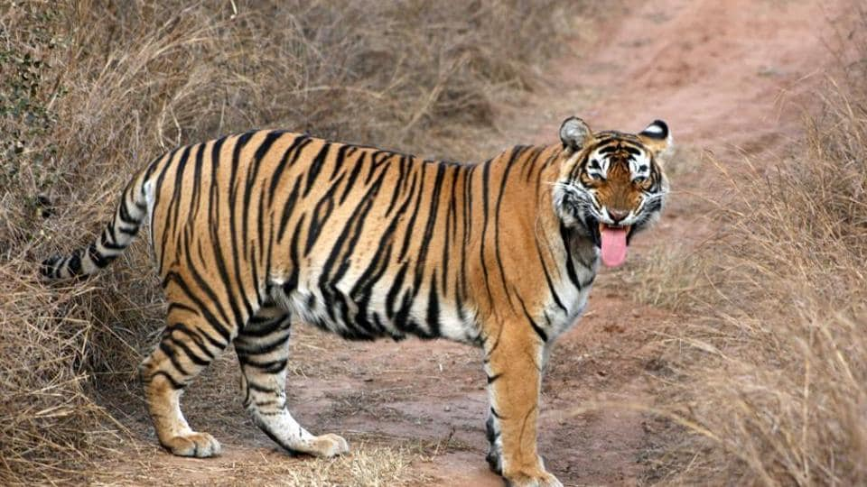 The SBWL standing committee visited Sariska following the death of tiger ST-11 and disappearance of tigress ST-5 (in picture)