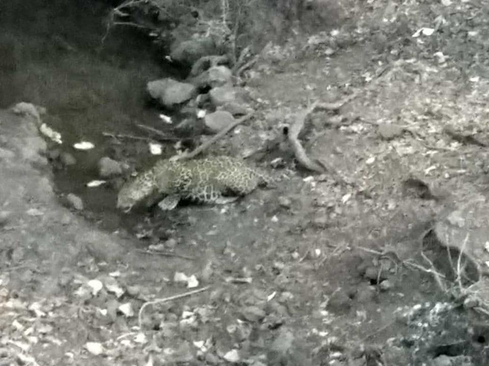 A leopard spotted at  night at Sanjay Gandhi National Park during the census.