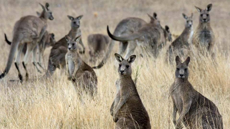 """Kangaroos can occasionally be aggressive no matter what the circumstances are, but 90% of the time it's the people who are trying to feed them who are attacked,"" said a travel operator."