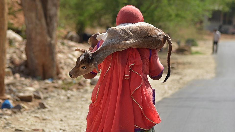 A woman walks while carrying a calf on her shoulder on a hot summer day in the outskirts of Ajmer, Rajasthan on May 3, 2018. (Shaukat Ahmed / AFP)