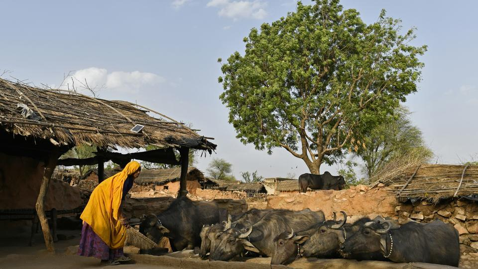 A woman sweeps the ground as cattle feed from a trough in Kraska. Rajasthan chief minister Vasundhara Raje in April 2018 directed the forest department to not shift any tigers to Sariska till a safe habitat for the big cats was made. The standing committee of the State Board for Wildlife (SBWL) also recommends immediate relocation of 26 villages from Sariska. (Anindito Mukherjee / Bloomberg)