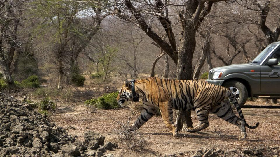Tiger T-91 shifted to Mukundra Hills Tiger reserve of Kota. The translocated tiger, T-91, had strayed into the Vishdhari sanctuary from Ranthambore Tiger Reserve.