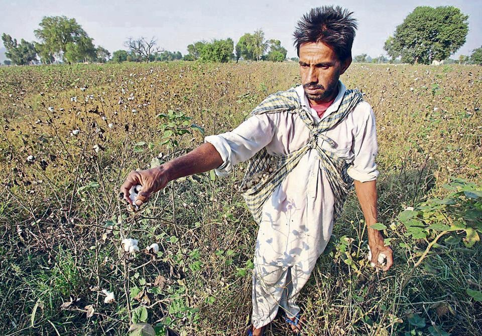 GM cotton patent row: SC issues notice on Monsanto's plea