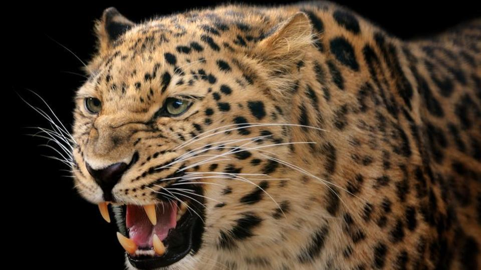 Close-up of a leopard showing its teeth.