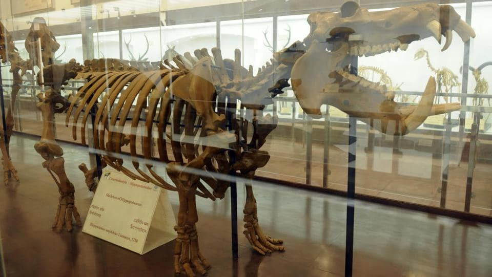 A skeletal exhibit of a hippopotamus on display at the museum. As many as 60 species of mammals are from Africa and America, some specimens nearly 200 years old. (Samir Jana / HT Photo)