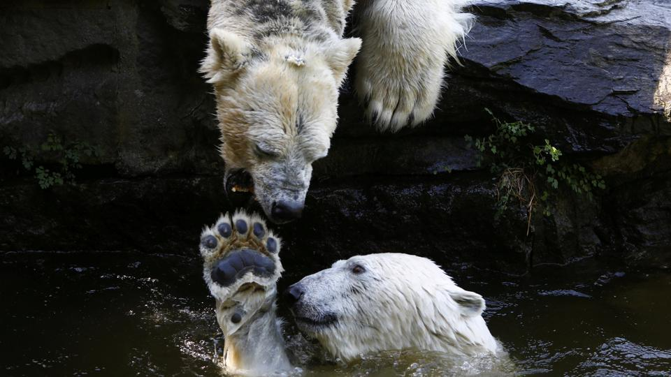 Polar bears play in the water in the Tierpark Zoo in Berlin, Germany. (Michele Tantussi / REUTERS)